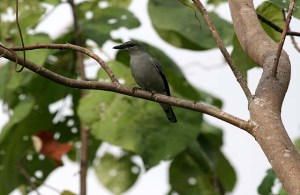 Buru Cuckoo-shrike